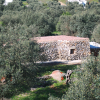 The Liama among the olive trees